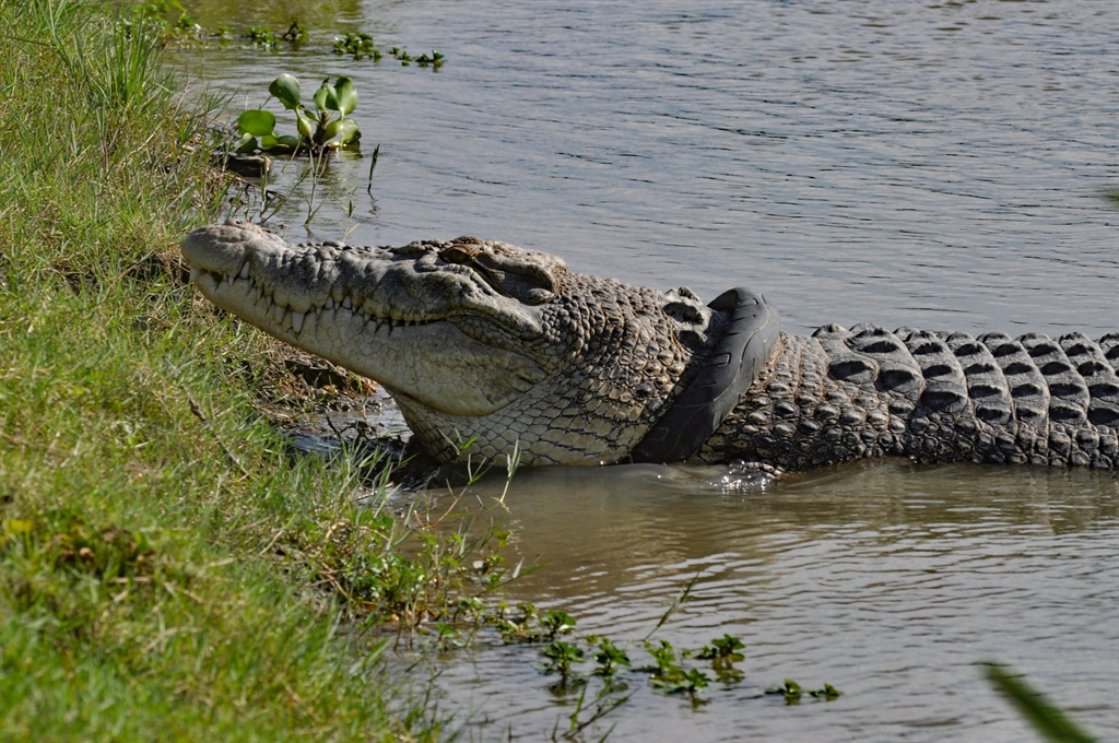 A crocodile with a motorbike tyre around its neck, by the riverbanks in Palu, Central Sulawesi province,Indonesia. (AFP)