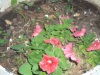PETUNIAS SHOW THEIR FACES
