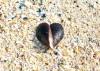 Heart Mussel