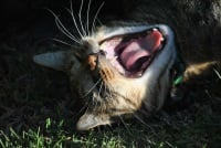 As only a cat can yawn.