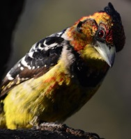 What you lookin' ?- Crested Barbet